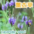 【香草植物】薰衣草(狹葉種)種子~Lavender seed