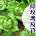 【萵苣家族】綠玫瑰萵苣種子 Leaf lettuce seed